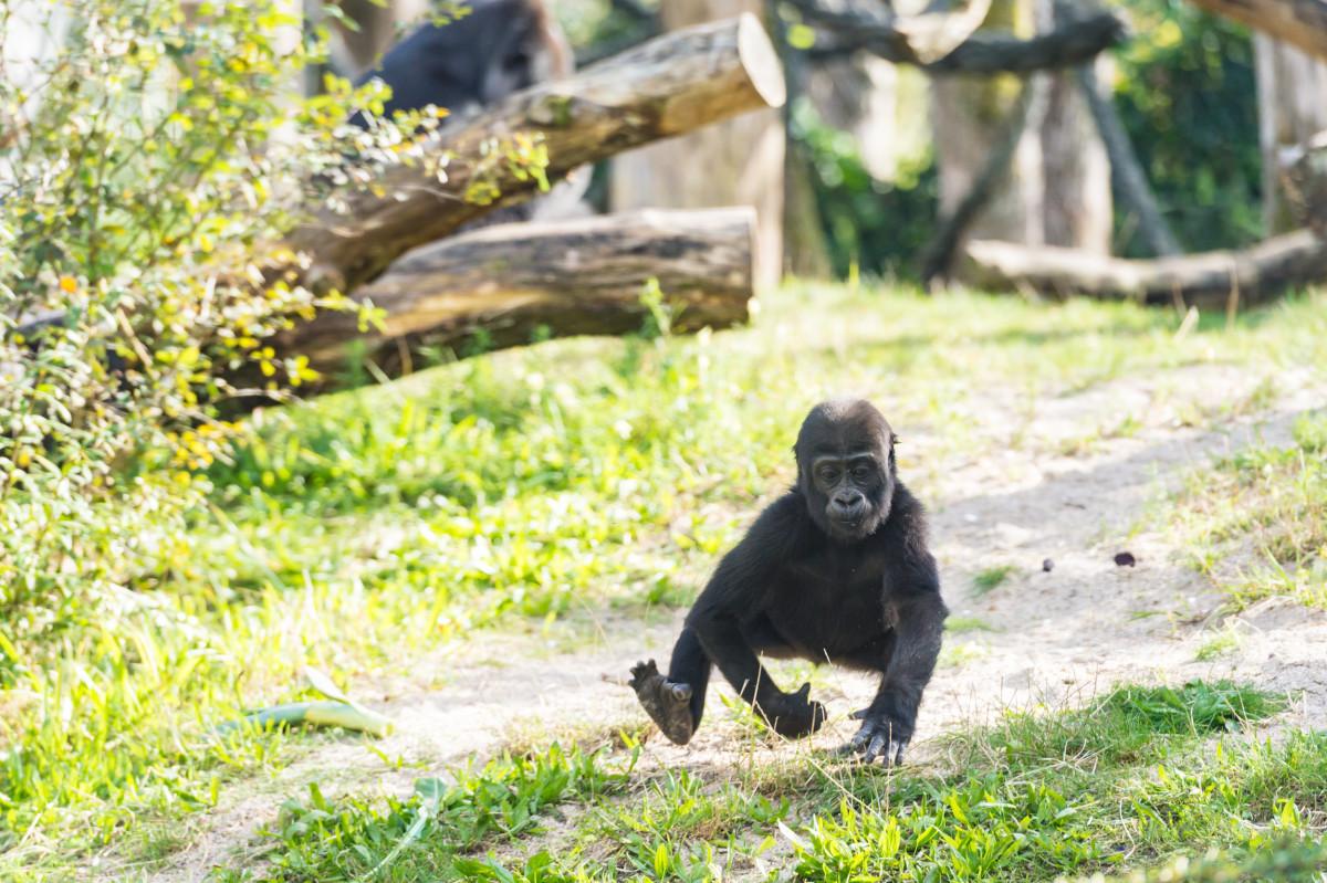 gorilla_mobali_ZOB5526